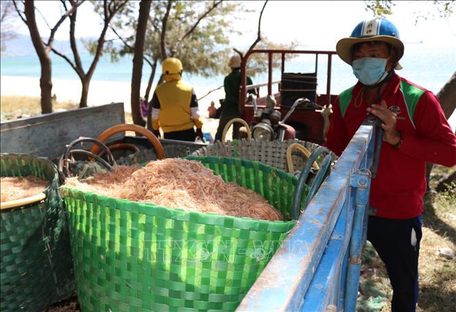 Ngư dân Ninh Thuận được mùa ruốc biển, thu nhập cả chục triệu mỗi ngày